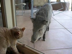 Javelinas don't make good pets!