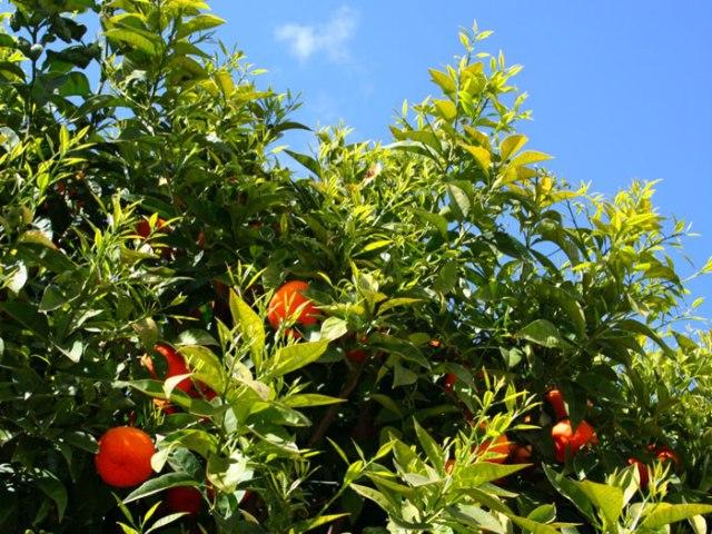 Orange trees might replace Pine Trees?