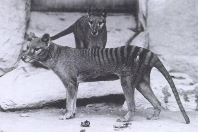 The Tasmanian Tiger was said to become extinct in 1936!