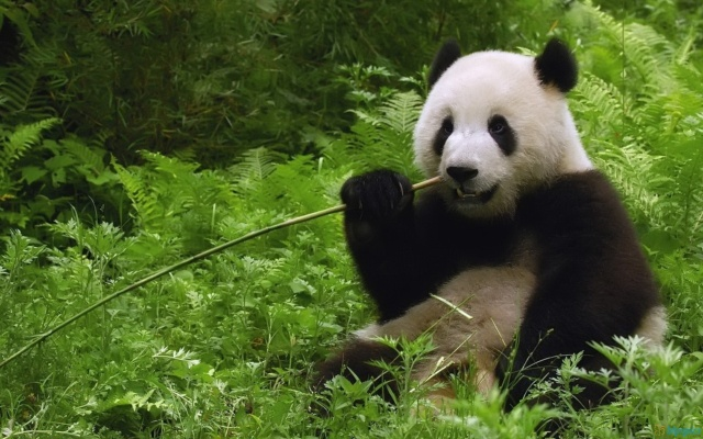 Not Only Pandas Eat Bamboo