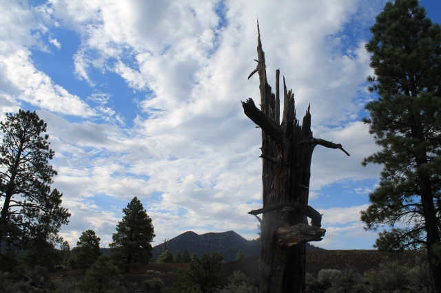 Ancient Ponderosa Pines lived and died within the rich volcanic soils