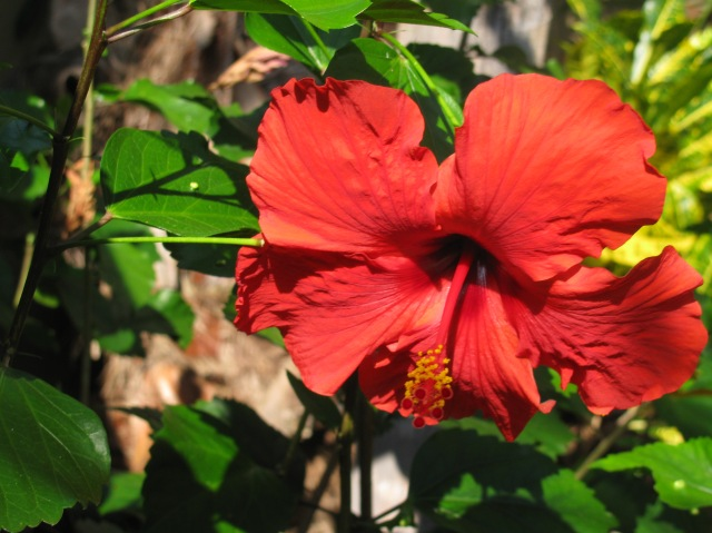 As does the Hibiscus...