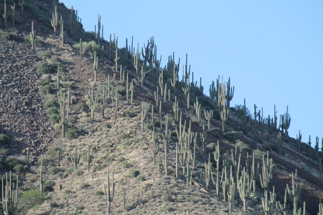 There are a lot of Saguaros in Central Arizona!