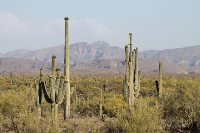 giant saguaros 007